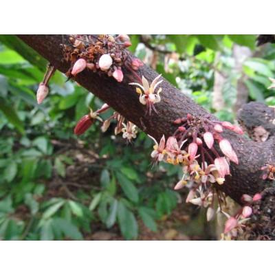 El árbol del cacao