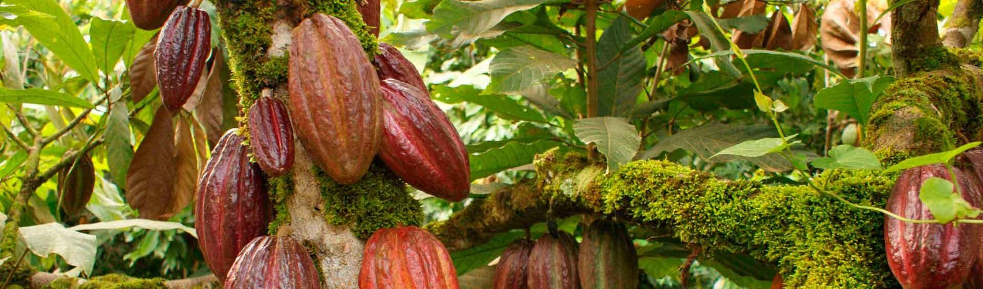 Chocolate procedente de cacao fino de aroma, con mas conciencia social